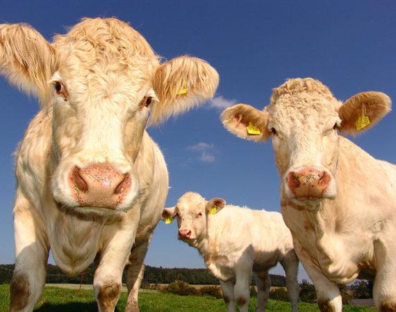 Neuer Schlachthof für Sachsen: Regionale Produkte fördern und Tiertransporte verkürzen